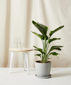 Buy Homeforest Potted Large Bird of Paradise