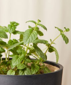 Buy Homeforest Potted Mint