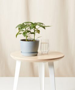 Buy Homeforest Potted Hot Pepper