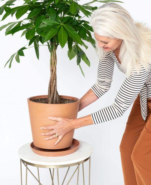 Chăm sóc cây kim ngân trồng chậu